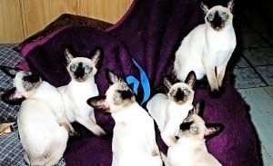 6-Siam-seal-Point-Kitten