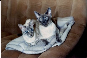 Siam-blue-point+blue-tabby-point